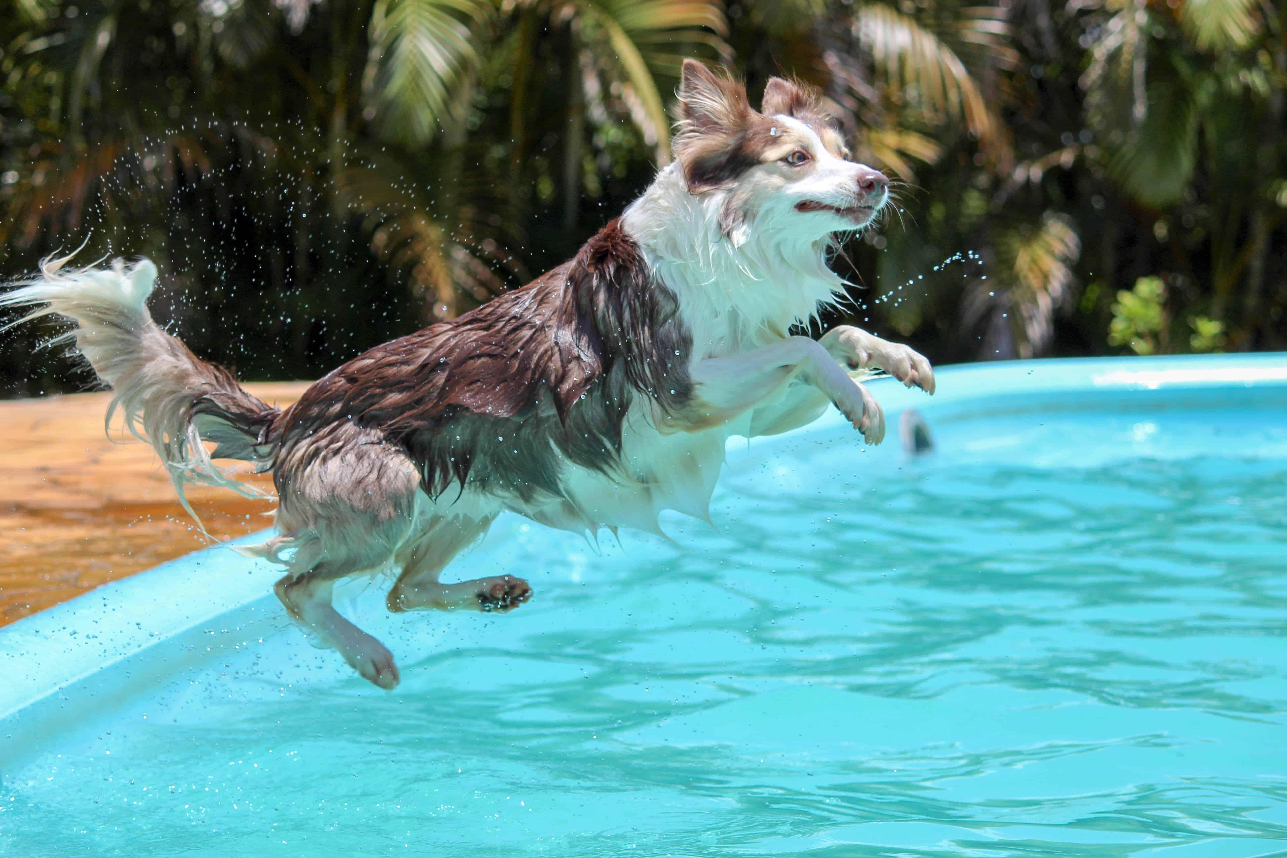 Hund springt in Pool
